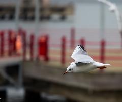 Seagull Panning