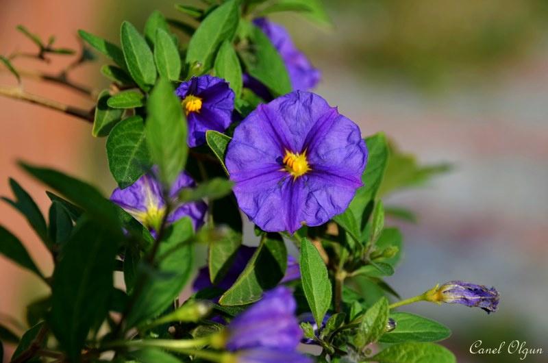 Solanum rantonettii (Lycianthes rantonne