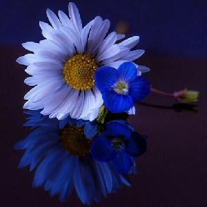 Gülce Mavi (Mâverâ)
